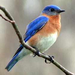Eastern Bluebird by Ken Thomas